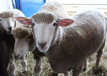 Sheep at Crow Hill Farm