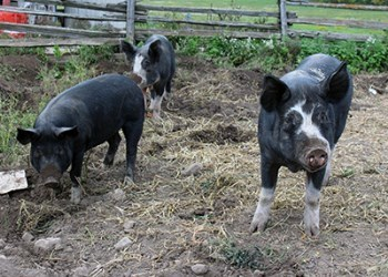 Pigs at O'Brienview Organic Farm