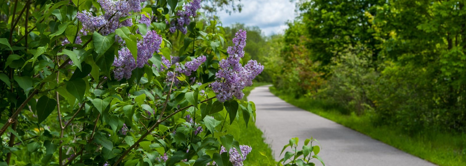 blooming lilac bush and paved trail