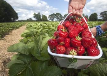 basket of strawberries in a field
