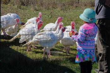 little girl with turkeys