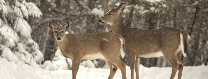 two deer walking in the forest in the winter