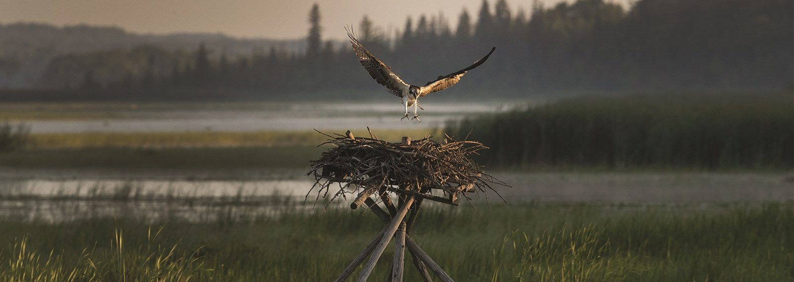osprey flying to his nest